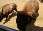 A la Ferme aux Bisons